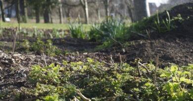 Nettles (Urtica dioica)