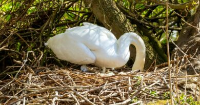 Five Cygnets Hatched